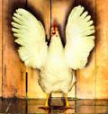 Manufacturers - Chicken?